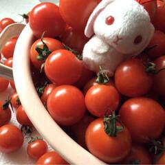 トマト/ウサギ/マスコット プチ★トマト♪いっぱい(^-^)元気イッ…