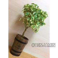 3LDK/賃貸マンション/リビング/観葉植物/グリーン/雑貨/... ベンジャミン♥︎