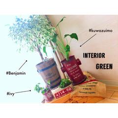 インテリア雑貨/リビング/観葉植物のある暮らし/観葉植物/ベンジャミン/インテリアグリーン/... あんな小さかったクワズイモが! こんなに…