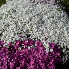 風景/お出かけワンショット 旦那の実家の芝桜今年は綺麗に咲きました🌸(1枚目)