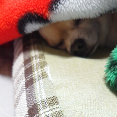🐶ハル/毛布/寒い朝/居眠り/居場所/一年 今朝も冷えましたね((•﹏•๑)) 最近…(3枚目)