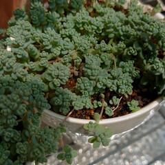 ブラックベリー/蕾/セダム/多肉植物/ウッドビーズ/スダレ 今朝咲いていたブラックベリーの白い花ꕤ⠜…(4枚目)