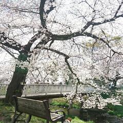 遊歩道/満開/満席/川辺/花見/桜吹雪/... えっ!?この間のup? ではありません🤗…(2枚目)