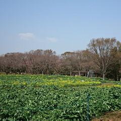 ネモフィラ/チューリップ/サクラ/いつもの公園/LIMIAおでかけ部/おでかけ/... 連続投稿ですみません🙇 花たよりをと思い…(5枚目)