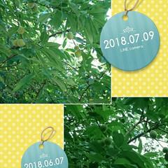 今日/一ヶ月前/花もも いつかの花もも 一ヶ月程度ではあまり変わ…