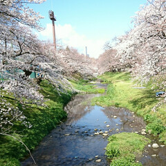 遊歩道/カフェ/お花見/桜/風景 毎年🌸を見て回る場所のひとつを🌸桜の様子…