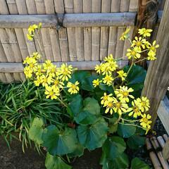 盆栽園/日本庭園/盆栽 日本庭園の盆栽園の盆栽たちです 紅葉がだ…(10枚目)