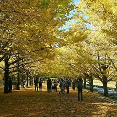 撮影ポイント/銀杏並木/いつもの公園/秋/風景 暖かい日差しに誘われていつもの公園へ🚲💨…(2枚目)