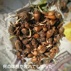 芽/ムスカリ/チューリップ/球根 野菜ではありません ムスカリの球根です🤗…(6枚目)