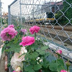 香り/嗅ぐ/線路/電車/薔薇/バラ 毎年近所を走る電車の線路沿いのフェンスに…
