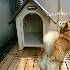 犬小屋/新居/小屋/犬/柴犬 もみじ家を買う(昔、こんな番組あったよう…(2枚目)