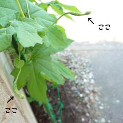 雌花/ゴーヤ/収穫/サヤインゲン/天ぷら おはようございます🔆🔅 今日も気温が上が…(2枚目)