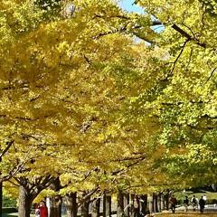 撮影ポイント/銀杏並木/いつもの公園/秋/風景 暖かい日差しに誘われていつもの公園へ🚲💨…