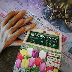 芽/ムスカリ/チューリップ/球根 野菜ではありません ムスカリの球根です🤗…(4枚目)