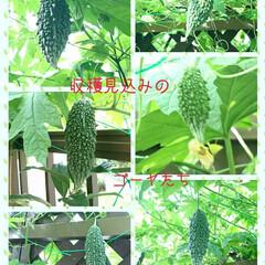 ゴーヤ/桃/カマキリ/ハル いつまで暑い日が続くのかなぁ〜⁉ 暑くて…