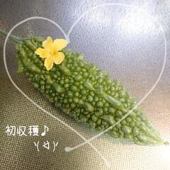 """2020初収穫/ゴーヤ/癒し/グリーンカーテン/チーズケーキ/ハル こんにちわ(*´꒳`*)🎐((""""Q(´▽…"""