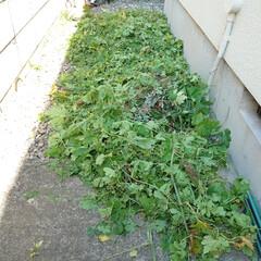 ゴーヤ/グリーンカーテン/収穫/忘れ物/片付け おはようございます 風も空気も秋らしくな…(2枚目)