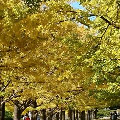 撮影ポイント/銀杏並木/いつもの公園/秋/風景 暖かい日差しに誘われていつもの公園へ🚲💨…(7枚目)