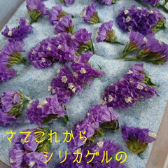 シリカゲル/フラワーボール/ドライ/紫陽花 切り花でいただいた紫陽花があまりにも大輪…(5枚目)