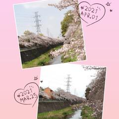 4月1日/ケーキ/アイスクリーム/満開/サクラ/桜 今日から4月(๑˙o˙๑)あっという間に…(5枚目)