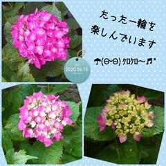 """紫陽花/ブラックベリー/二度寝/ハル おはようございま〜す(*´∀`*)ノ"""" …"""
