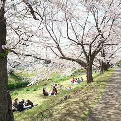 遊歩道/満開/満席/川辺/花見/桜吹雪/... えっ!?この間のup? ではありません🤗…(4枚目)
