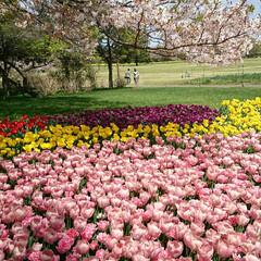 チューリップ/ネモヒィラ/桜吹雪/満開/菜の花/いつもの公園/... いつもの公園に行って来ました 桜の季節も…