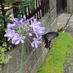 アゲハ蝶/水やり おはようございます(*´꒳`*)/ 今朝…
