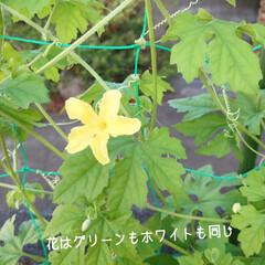 白ゴーヤ/ホワイト/ゴーヤ/総数 おはようございます🎐 ゴーヤの収穫が豊作…(2枚目)
