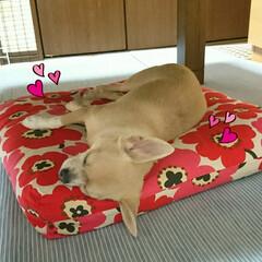 キウイ/ミルキー大福/お昼ご飯/お気に入り/寝床/ハル 最近の🐶ハルのお気に入り寝床?❤テーブル…