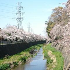 遊歩道/満開/満席/川辺/花見/桜吹雪/... えっ!?この間のup? ではありません🤗…(7枚目)