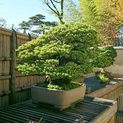 盆栽園/日本庭園/盆栽 日本庭園の盆栽園の盆栽たちです 紅葉がだ…(4枚目)