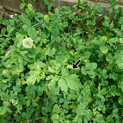 グリーン/芽/風船カズラ/クローバー クローバーの花の中に風船カズラの🌱芽が出…