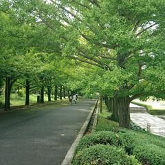 カナール/水路/いちょう並木/イチョウ/銀杏/昭和記念公園 昨日、公園の出入口(立川口)です もう少…