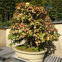 盆栽園/日本庭園/盆栽 日本庭園の盆栽園の盆栽たちです 紅葉がだ…(5枚目)