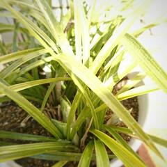 蕾/春蘭/チューリップ 昨年 秋に植え付けをした🌷の芽が顔を出し…(2枚目)
