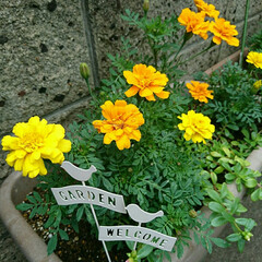駐車場/マリゴールド 苗を植えて1ヶ月ほど経ちマリゴールド咲き…(1枚目)