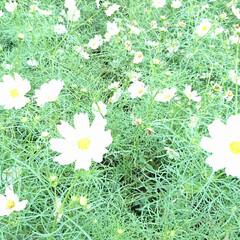 高見台/コスモス/ワンちゃん/準備/箱根駅伝予選会 明日は大雨☔予報です いつもの公園の花た…(4枚目)