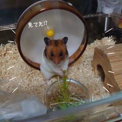 """ハムスター/福くん/好物/完食/水菜 (o。・・。)oぉは~ʢ'•ﻌ•ʡ✩⃛""""…(2枚目)"""