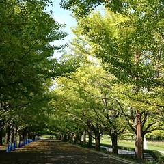 昭和記念公園/銀杏/紅葉 昭和記念公園の紅葉はまだ、こんな感じです…
