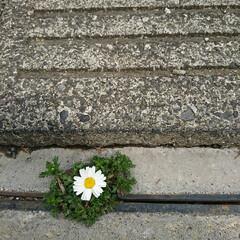 花/こぼれた種/側溝/雨上がり/ノースポール/アリ 雨が上がり 実家の花の様子を見に行ったら…