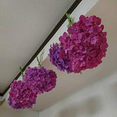 長谷寺/三人地蔵/石のサボテン/チァレンジ/紫陽花/ドライフラワー みなさんが紫陽花のドライを作ったり飾った…