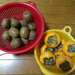 畑/柿/キウイ 毎週通う体操教室の会場裏に畑があって今日…