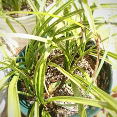 蕾/春蘭/チューリップ 昨年 秋に植え付けをした🌷の芽が顔を出し…(3枚目)