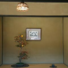 盆栽園/日本庭園/盆栽 日本庭園の盆栽園の盆栽たちです 紅葉がだ…(9枚目)