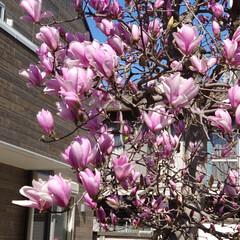 木蓮/満開/ニラバナ こんにちは🌞 今日の暖かさで木蓮満開にな…
