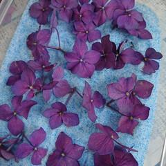 シリカゲル/フラワーボール/ドライ/紫陽花 切り花でいただいた紫陽花があまりにも大輪…(4枚目)