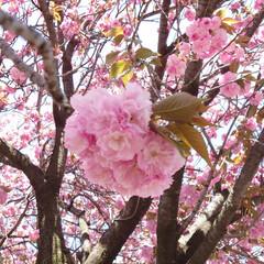 八重桜/イチョウの新芽/イチョウの木/紅葉も新緑/葡萄の新芽 窓越しは暖かい日差しのお天気なのに🍃が強…