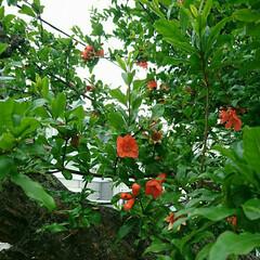 ザクロ/公園/散歩 🐶と🚶💨散歩 ザクロの花を見つけて 毎年…
