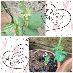 ブラックベリー/蕾/セダム/多肉植物/ウッドビーズ/スダレ 今朝咲いていたブラックベリーの白い花ꕤ⠜…(2枚目)